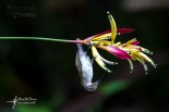 Pale_Spiderhunter_ADBP9991